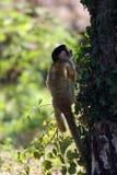 σκίουρος πιθήκων Στοκ Φωτογραφία