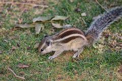 Σκίουρος που έχει τη μακριά θαμνώδη ουρά που τρώει τη χλόη στον τομέα στοκ φωτογραφία με δικαίωμα ελεύθερης χρήσης