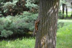 Σκίουρος που αναρριχείται σε ένα δέντρο Στοκ Εικόνες
