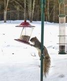 Σκίουρος που αναρριχείται στην τροφή πουλιών Στοκ Φωτογραφία