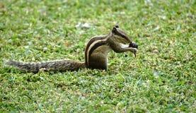 Σκίουρος που βρίσκεται στο πάρκο Στοκ Εικόνες