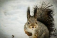 Σκίουρος που εξετάζει με στοκ φωτογραφία με δικαίωμα ελεύθερης χρήσης