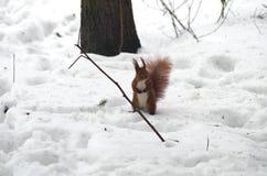 Σκίουρος που ζητά τα τρόφιμα Στοκ φωτογραφίες με δικαίωμα ελεύθερης χρήσης