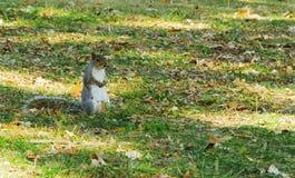 Σκίουρος που περιμένει σε ένα πάρκο Στοκ εικόνες με δικαίωμα ελεύθερης χρήσης