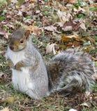 Σκίουρος που περιμένει τα καρύδια Στοκ Φωτογραφίες