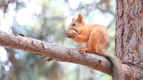 Σκίουρος που ροκανίζει ένα καρύδι απόθεμα βίντεο