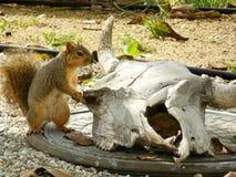 Σκίουρος από το κρανίο Στοκ Εικόνες