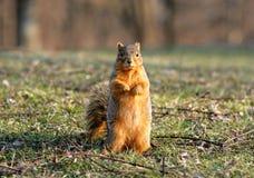 Σκίουρος που στέκεται κάθετος Στοκ φωτογραφίες με δικαίωμα ελεύθερης χρήσης
