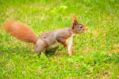 Σκίουρος που στέκεται στη χλόη με ένα πόδι επάνω Στοκ Φωτογραφία