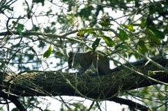 Σκίουρος που στηρίζεται στο δέντρο Στοκ εικόνα με δικαίωμα ελεύθερης χρήσης