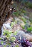 Σκίουρος που τρέχει μέσω των δασών Στοκ εικόνα με δικαίωμα ελεύθερης χρήσης