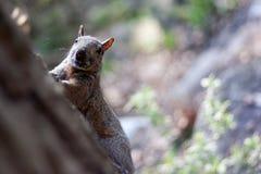 Σκίουρος που τρέχει μέσω των δασών Στοκ εικόνες με δικαίωμα ελεύθερης χρήσης