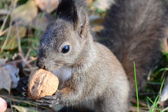 Σκίουρος που τρώει ένα καρύδι Στοκ φωτογραφίες με δικαίωμα ελεύθερης χρήσης