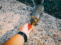 σκίουρος που τρώει από το χέρι των ατόμων Στοκ εικόνες με δικαίωμα ελεύθερης χρήσης