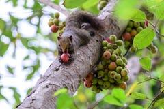 Σκίουρος που τρώει κόκκινα φρούτα σύκων στο δέντρο στοκ φωτογραφία με δικαίωμα ελεύθερης χρήσης