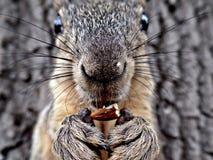Σκίουρος που τρώει μια κινηματογράφηση σε πρώτο πλάνο αμυγδάλων Στοκ Φωτογραφία