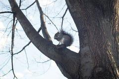 Σκίουρος που τρώει στον κλάδο δέντρων Στοκ Εικόνα