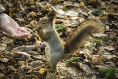 Σκίουρος, που τρώει τα καρύδια από το θηλυκό χέρι στοκ εικόνα