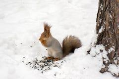 Σκίουρος που τρώει τα καρύδια στο χειμερινό δάσος στοκ εικόνα με δικαίωμα ελεύθερης χρήσης