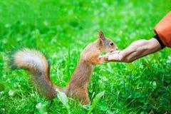 Σκίουρος που τρώει τα καρύδια από το χέρι γυναικών Στοκ Εικόνες