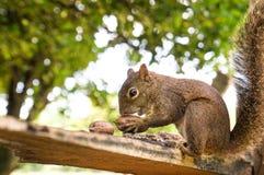 Σκίουρος που τρώει τα καρύδια Στοκ Εικόνες