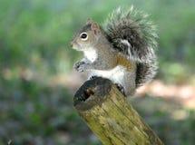 Σκίουρος που τρώει τα καρύδια στοκ εικόνα