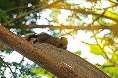 Σκίουρος που τρώει τα τρόφιμα στο δέντρο Στοκ Εικόνες