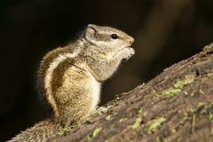 Σκίουρος που τρώει τα φρούτα Στοκ Εικόνες