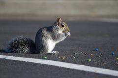 Σκίουρος που τρώει τις καραμέλες στοκ εικόνες