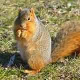 Σκίουρος που τρώει το καρύδι στοκ εικόνα με δικαίωμα ελεύθερης χρήσης
