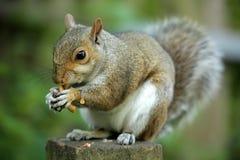 Σκίουρος που τρώει το καρύδι στοκ φωτογραφία