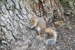 Σκίουρος που τρώει το καρύδι Στοκ φωτογραφία με δικαίωμα ελεύθερης χρήσης