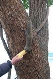 Σκίουρος που τρώει το καλαμπόκι από ένα χέρι των ατόμων Στοκ Φωτογραφίες
