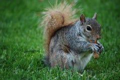 Σκίουρος που τρώει Lazily ένα φυστίκι από τη Shell Στοκ φωτογραφία με δικαίωμα ελεύθερης χρήσης