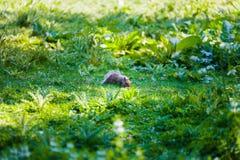Σκίουρος που ψάχνει για τα τρόφιμα στο πάρκο στο Λονδίνο Στοκ Φωτογραφίες