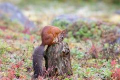 Σκίουρος που ψάχνει τα τρόφιμα Στοκ Εικόνες
