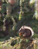 Σκίουρος πρωινού Στοκ Φωτογραφίες
