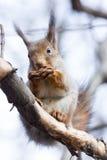 Σκίουρος σε έναν κλάδο Στοκ Εικόνες