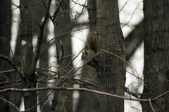 Σκίουρος σε ένα άκρο στοκ εικόνα με δικαίωμα ελεύθερης χρήσης