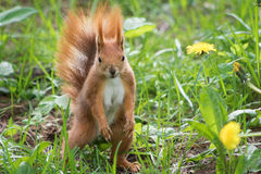 Σκίουρος σε ένα δάσος στοκ φωτογραφία με δικαίωμα ελεύθερης χρήσης