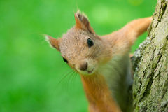 Σκίουρος σε ένα δέντρο που εξετάζει τη κάμερα Κινηματογράφηση σε πρώτο πλάνο στοκ φωτογραφίες