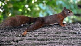 Σκίουρος σε ένα δέντρο Στοκ Φωτογραφίες