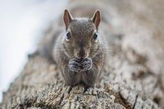 Σκίουρος σε ένα δέντρο με ένα καρύδι Στοκ Φωτογραφίες