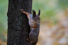 Σκίουρος σε ένα δέντρο Στοκ Εικόνες