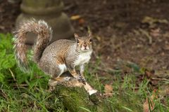 Σκίουρος σε ένα κούτσουρο Στοκ φωτογραφίες με δικαίωμα ελεύθερης χρήσης