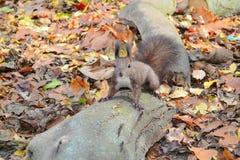 Σκίουρος σε ένα κούτσουρο Στοκ Εικόνες