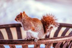 Σκίουρος σε ένα δοχείο απορριμμάτων Στοκ Εικόνα