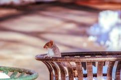 Σκίουρος σε ένα δοχείο απορριμμάτων Στοκ Εικόνες