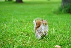 Σκίουρος σε ένα πάρκο στοκ εικόνες