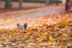 Σκίουρος σε ένα πάρκο φθινοπώρου μεταξύ των φύλλων στοκ φωτογραφίες